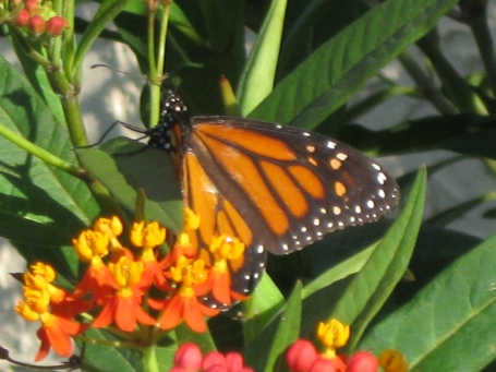milkweed-and-monarch-butterfly_r2