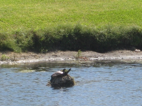 Turtles catching some rays in the middle of the lake