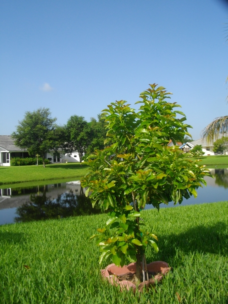Avacado tree