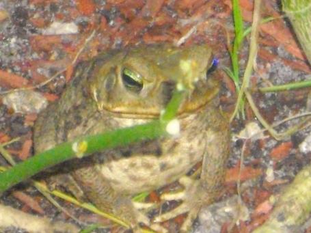 Toad under milkweed plant